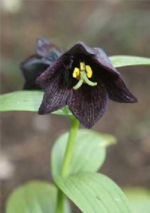 Fritillaria camchatcensis Large Black